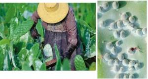 Química e Derivados: Corantes: Colheita de Cochonilha - carmim estável e versátil.