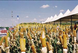 Química e Derivados: Agronegócio: Melhoramento genético permite aumentar produtividade. ©QD Foto - Fernando de Castro